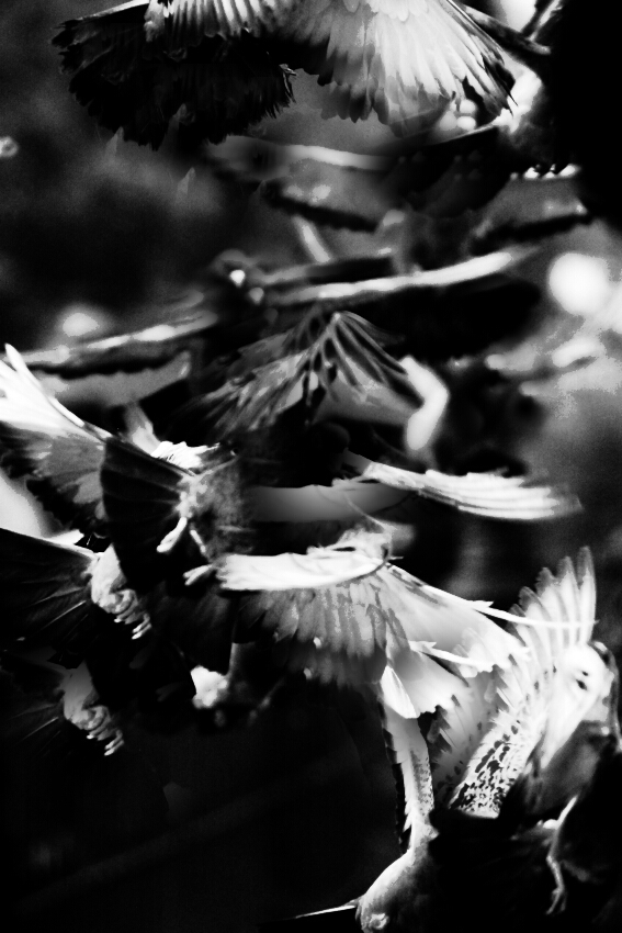 Black and white photo of birds in motion