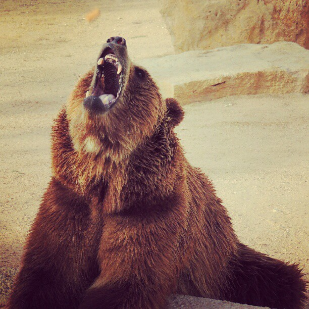 Brown bear shouting