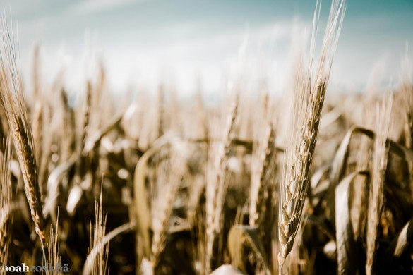 Fields of Wheat: A Photo Gallery