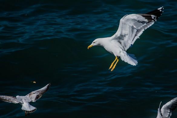 Seagulls in Flight Captured by PicsArtist Mus