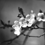 Black and white photo of an orchid