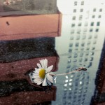Daisy on the water with town reflection