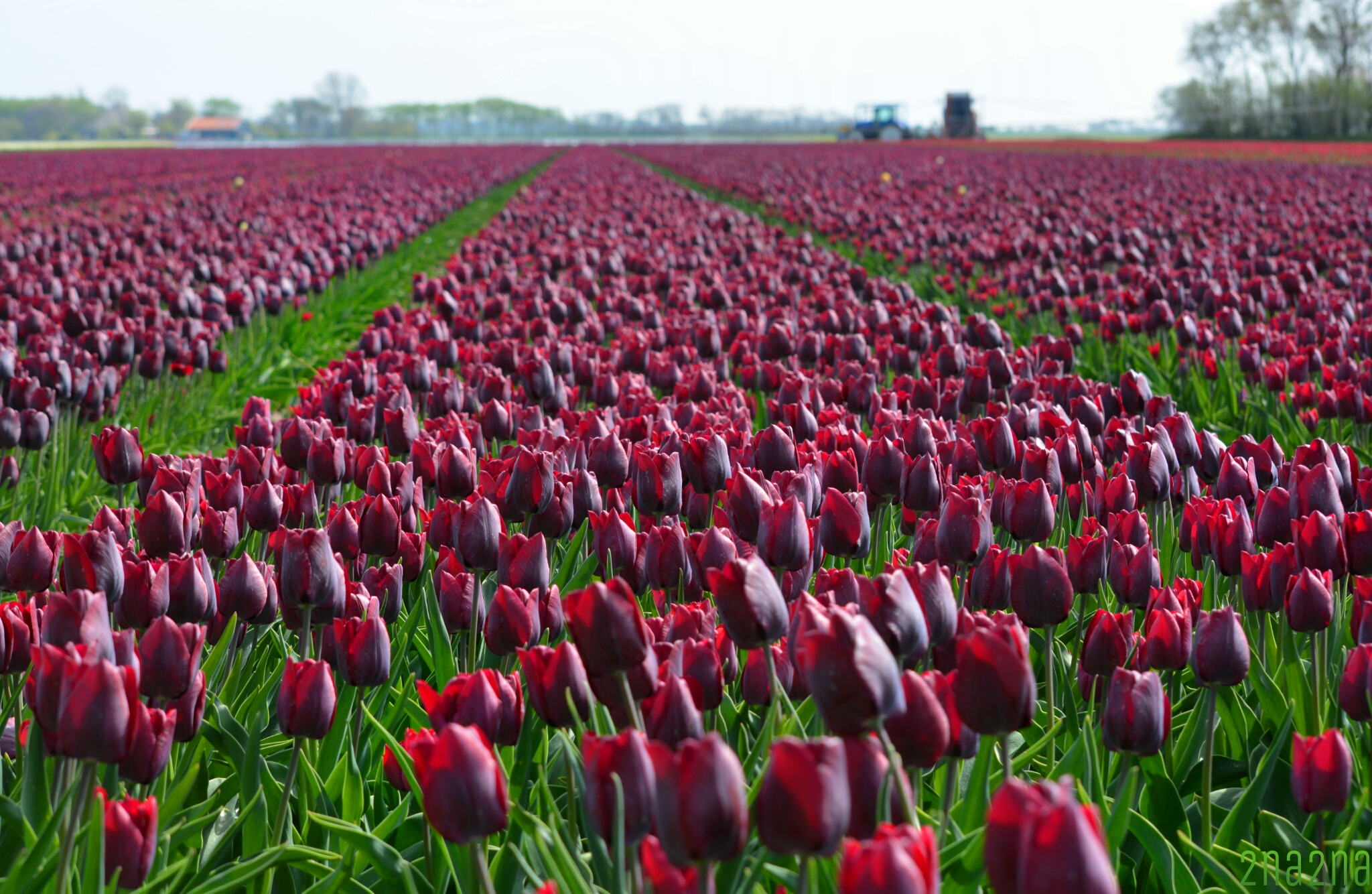 Maroon tulip field