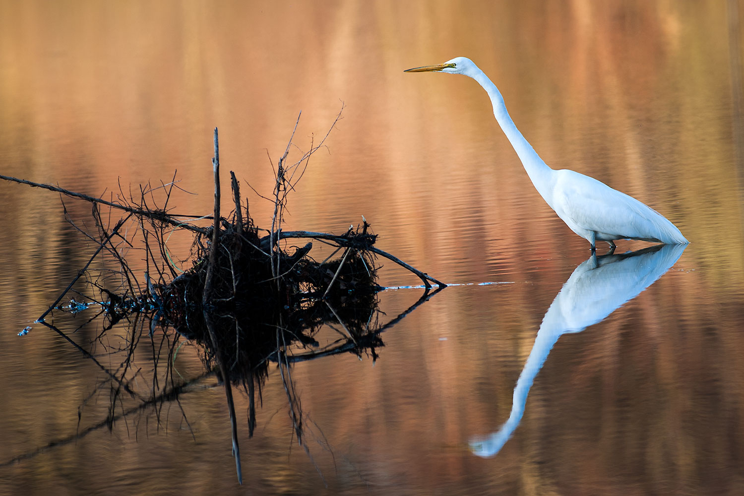 Great egret on the water with reflection