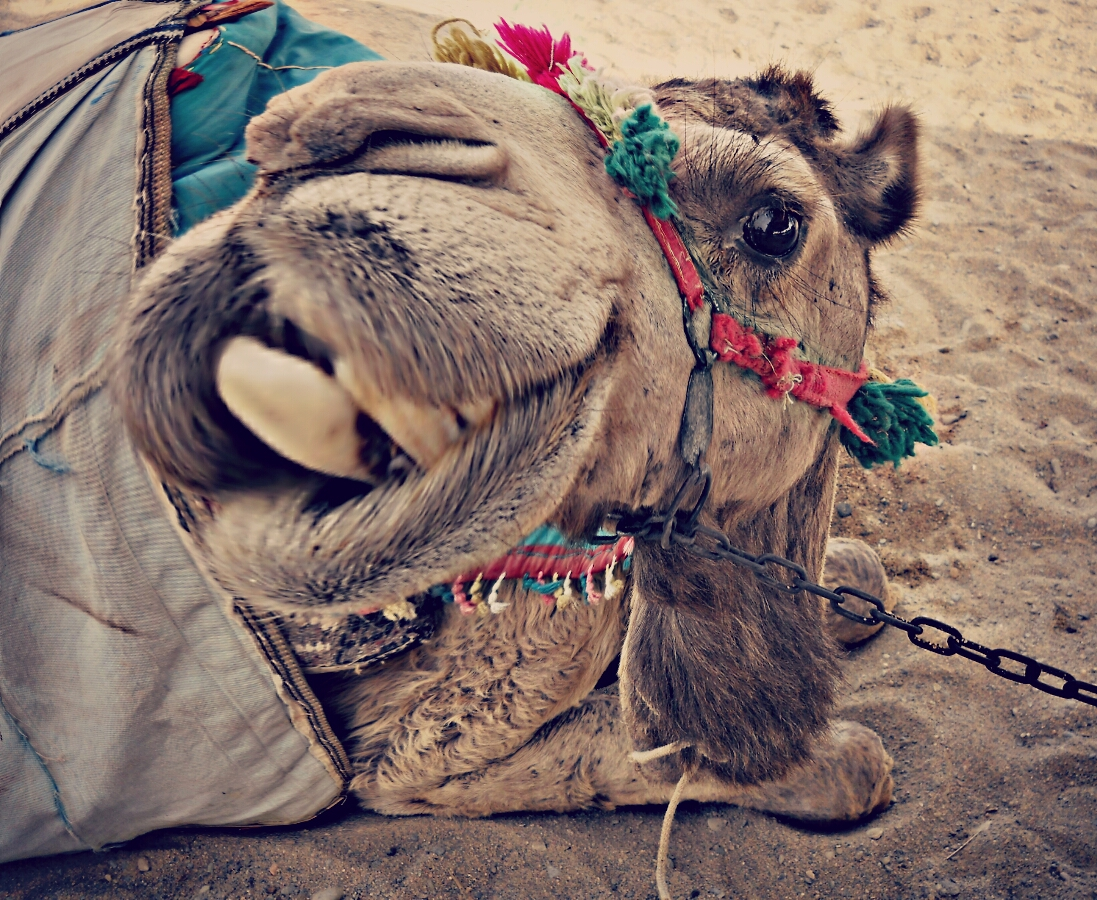 Close up photo of a sitting camel