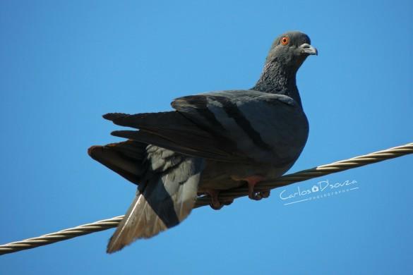 Urban Wildlife: A #pigeon Photo Gallery