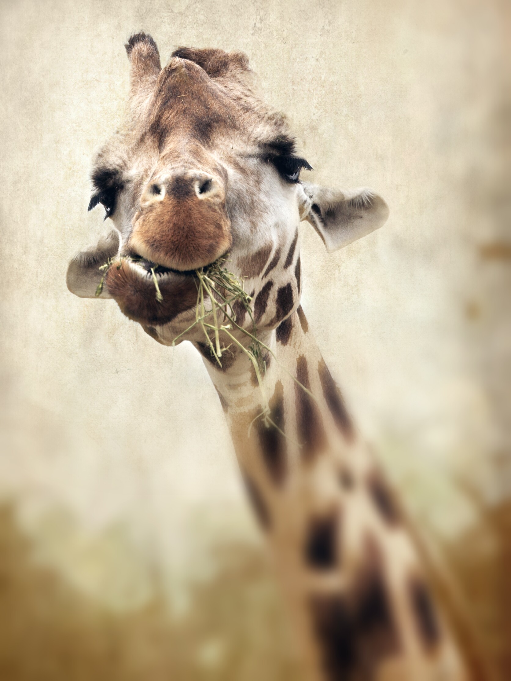 eating giraffe photo