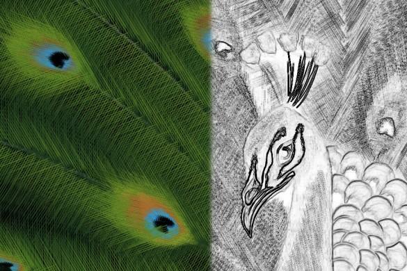 PicsArtists Share Peacock Drawing Tutorials