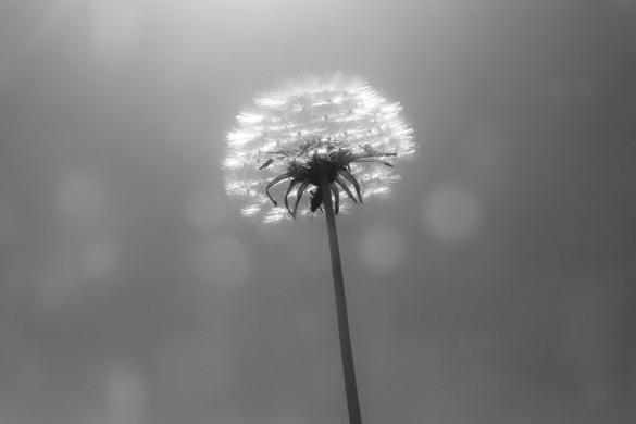 Make a Wish: A #dandelion Photo Gallery