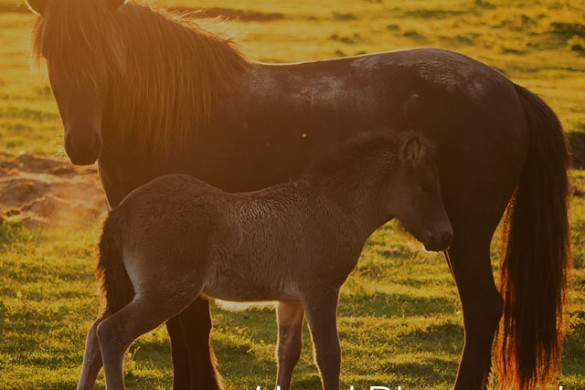 How I Discovered the Beauty of Icelandic Horses By Slowing Down