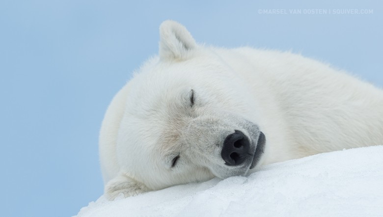 Polar Bear picture