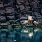 polar bear photos