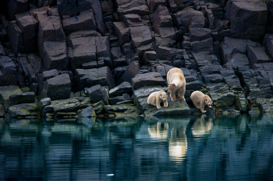 Global Warming threatens polar bears - by Paul Nicklen - Earth Day - PicsArt Blog