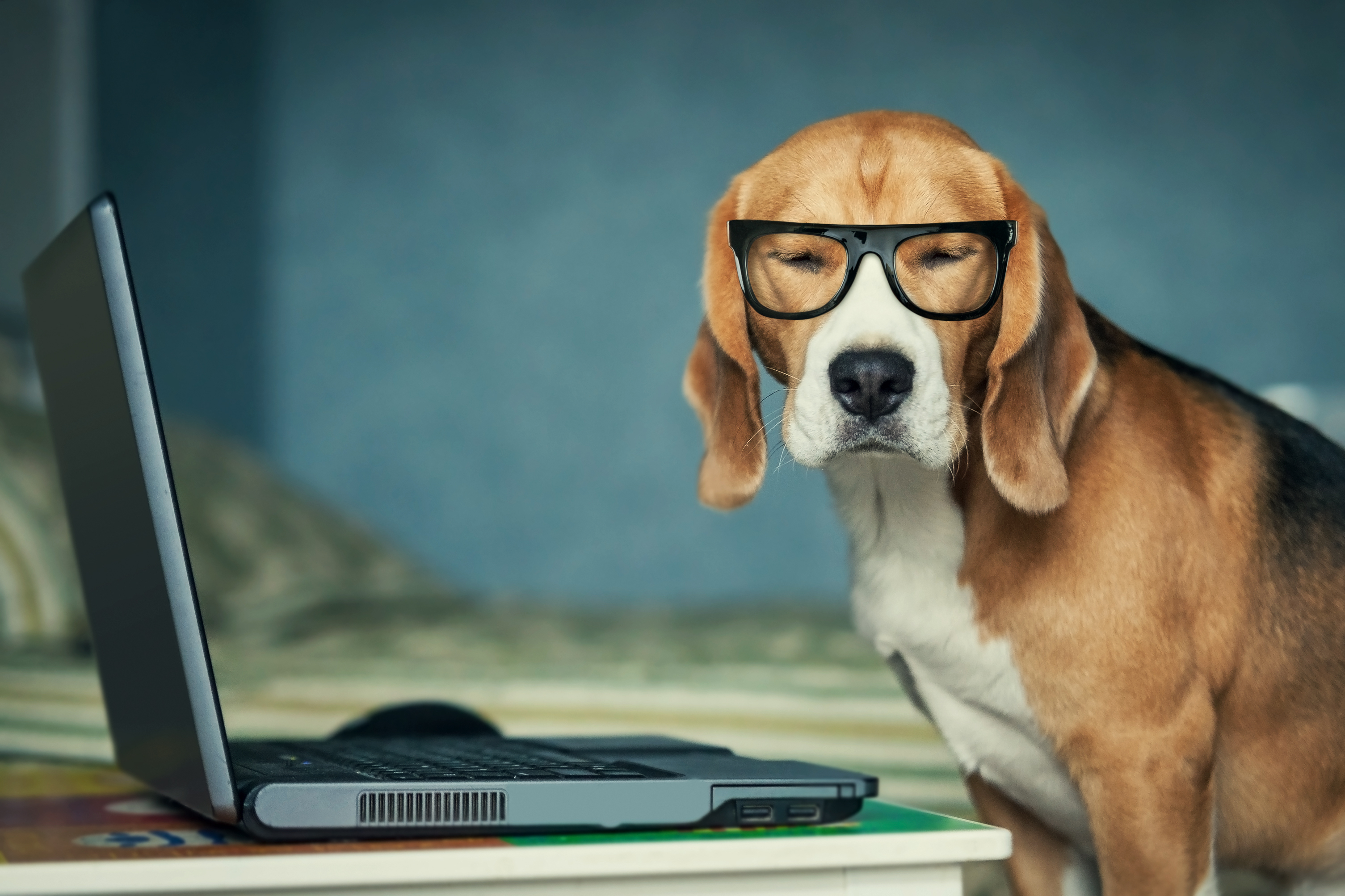 Beagle with Glasses Using a Laptop