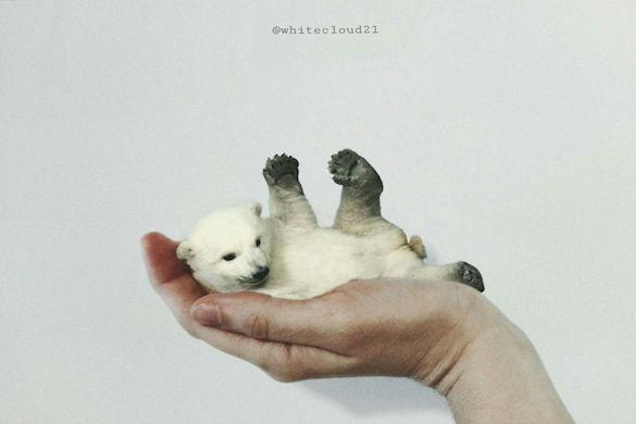 Downsized polar bear on the palm of a man