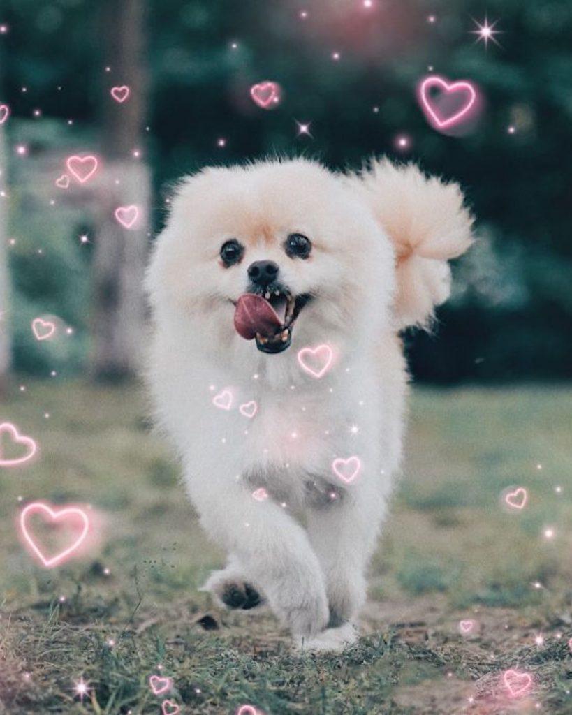 Cute edit of Pomeranian