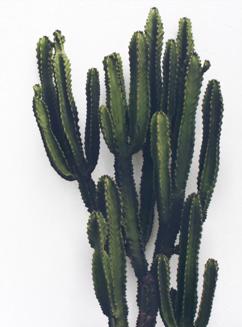Cactus against a white wall